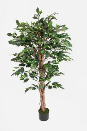 FICUS GREEN 150